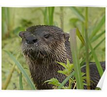 Otter on West Lake Toho Poster