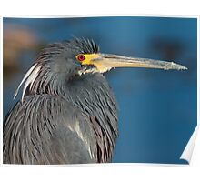 Tri-colored heron, West Lake Toho Poster