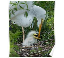 Great Egret chick Poster
