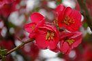flowering quince cluster by dedmanshootn