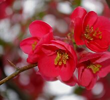 flowering quince cluster by dedmanshootn