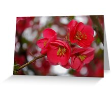 flowering quince cluster Greeting Card