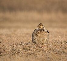 Prairie Chicken 2013-5 by Thomas Young