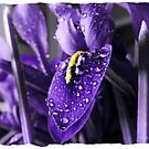 Miniature Iris by Olga