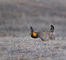 Prairie Chicken 2013-6 by Thomas Young