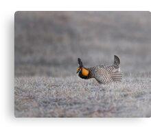Prairie Chicken 2013-6 Metal Print