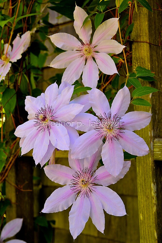 Clematis Beauty by eleanor p.  labrozzi