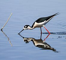 Black-necked Stilt (Himantopus mexicanus): Smorgasbord by John Williams
