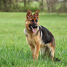 Only German Shepherds by Sandy Keeton