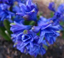 First Hyacinths by MarianBendeth