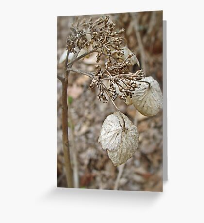 Dried Lace Cap Hydrangea Greeting Card
