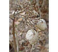 Dried Lace Cap Hydrangea Photographic Print
