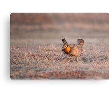 Prairie Chicken-8 Metal Print