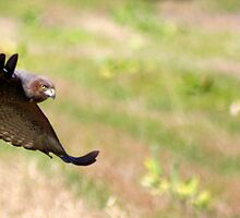 Spotted Harrier in flight by Trish Threlfall
