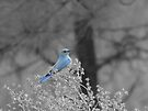 Blue Mountain Bluebird by BettyEDuncan