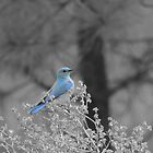 Blue Mountain Bluebird by Betty E Duncan  Blue Mountain Blessings Photography