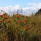 A Field of Wildflowers ~ Milkweeds   by SummerJade