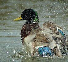 Washing Duck by Paul Hutcheon