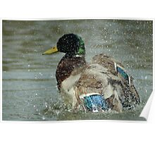 Washing Duck Poster