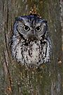 Eastern Screech Owl eye opener by Jim Cumming