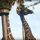 Giraffe Sticking Tongue Out by amyschuldies