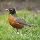 Robin Red Breast by Lorelle Gromus