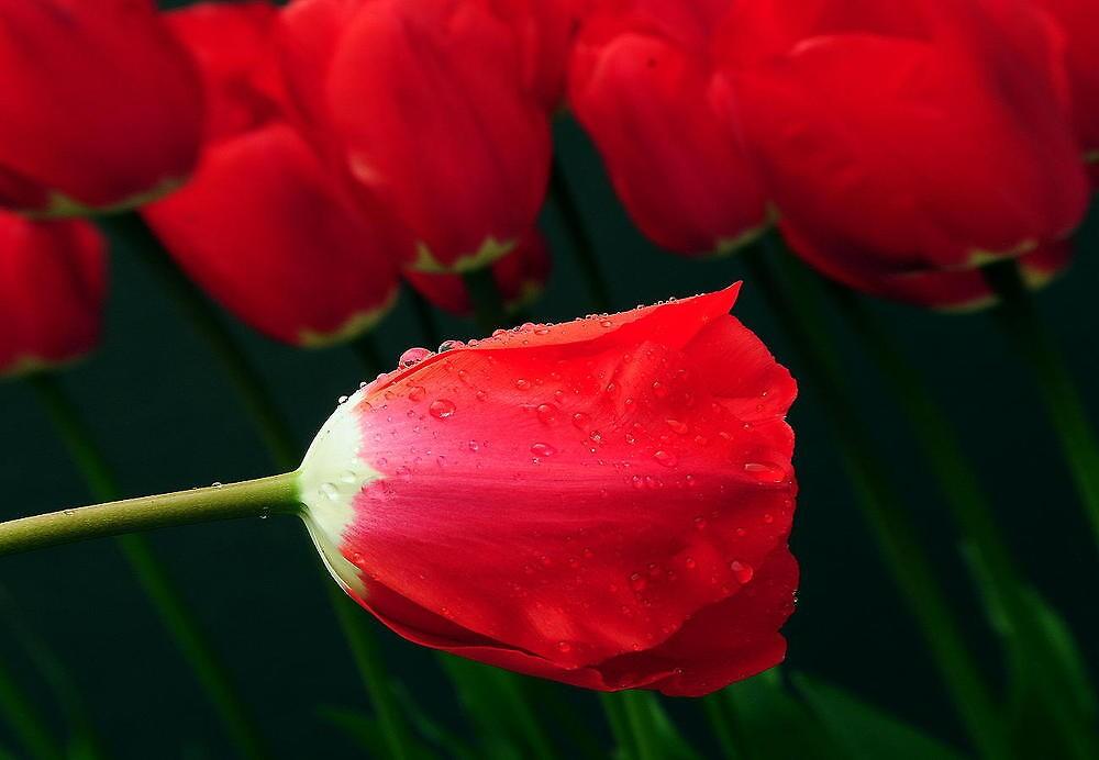 TULIP LOVE by RoseMarie747