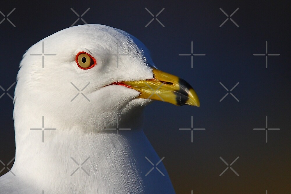 Ring-billed Gull by Jim Cumming