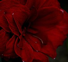 Red Amaryllis by pratt1ak
