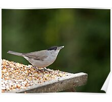 Blackcap with Seed Poster