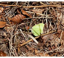 Brimstone Butterfly Photographic Print