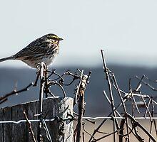 Savannah Sparrow (Passerculus sandwichensis) by jules572