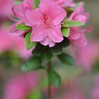Carolina Rhododendron ~ Rhododendron Carolinianum by studio20seven