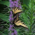 Blazing Star ~ Liatris and Butterflies by studio20seven