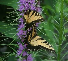 Blazing Star ~ Liatris and Butterflies by studio20seven