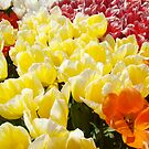 Tulip Flowers Festival Art Prints Yellow White Tulips by BasleeArtPrints