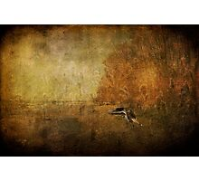 Sandpiper Piping Photographic Print