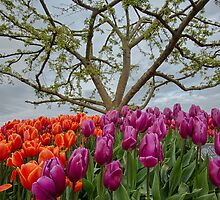 2013 Skagit Valley Tulip Festival by Jim Stiles