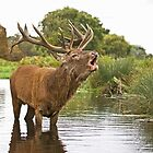 Red Stag by Alan Forder