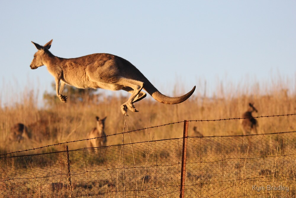 Up and Over Kangaroo Jumping Barbed Wire Fence Canberra  by Kym Bradley