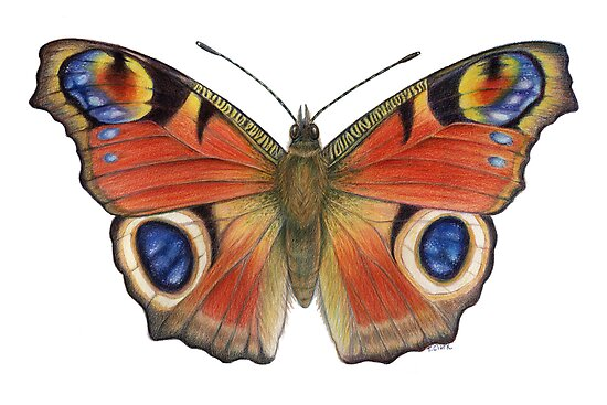 Peacock Butterfly (Inachis io) by Tamara Clark