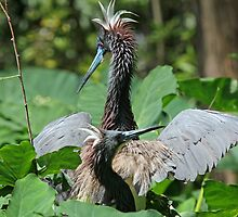 Courting-Tricolored heron style ! by jozi1