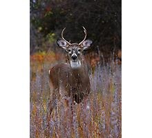 Prince - White-tailed Deer Photographic Print