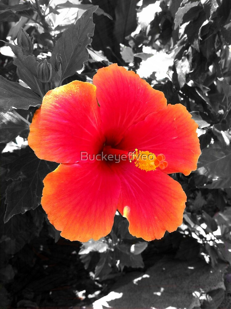 Hawaiian Hibiscus  by Buckeyefiveo