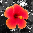 Hawaiian Hibiscus  by Buckeyefiveo