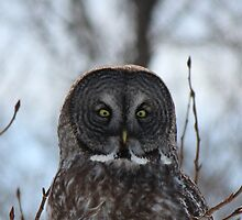 The Great Gray Owl by Vickie Emms