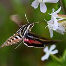 Hummingbird Moth by Vickie Emms