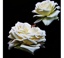 Wit Roos (White Rose) Photographic Print