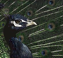 Peacock by Heather Ward