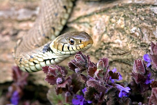 Grass snake 2 by Alan Forder